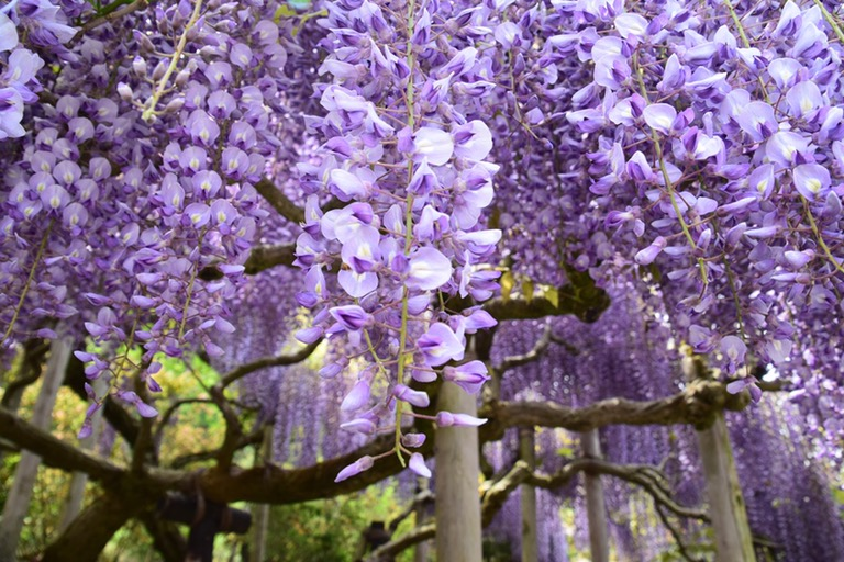 Haru Trip 2016: Ashikaga FlowerPark