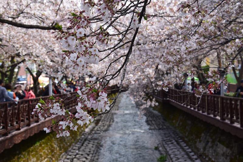 Chasing Cherry Blossom 2017: Korea – Jinhae (part2)