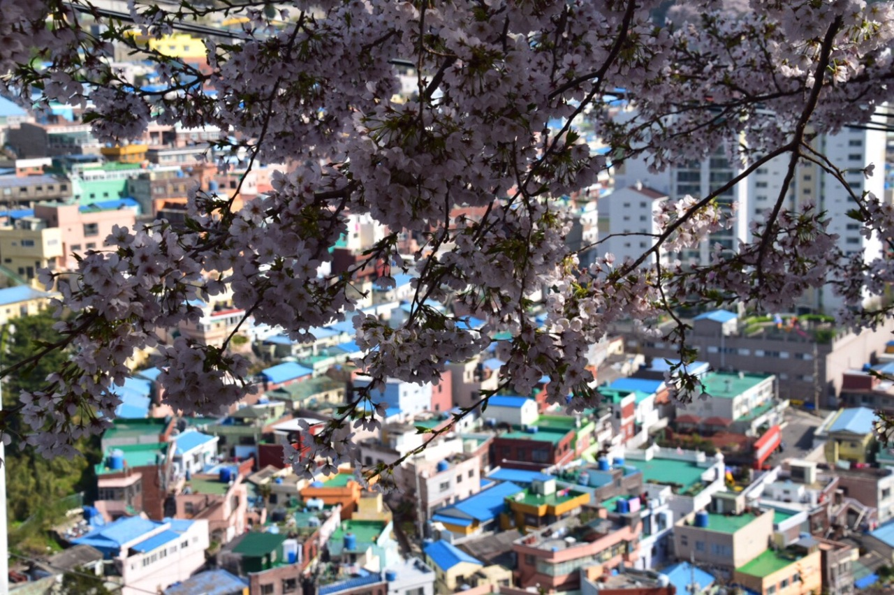 Chasing Cherry Blossom 2017: Gamcheon Cultural Village – Busan